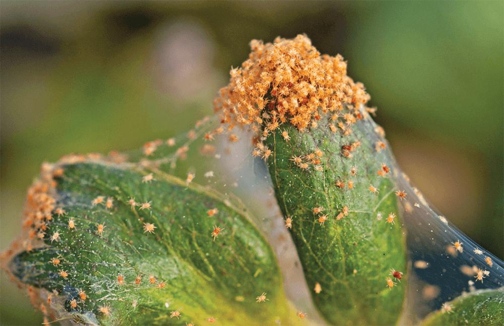 enfermidades y plagas