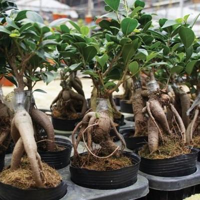Cultivos hidropónicos: ginseng, laurel y estragón