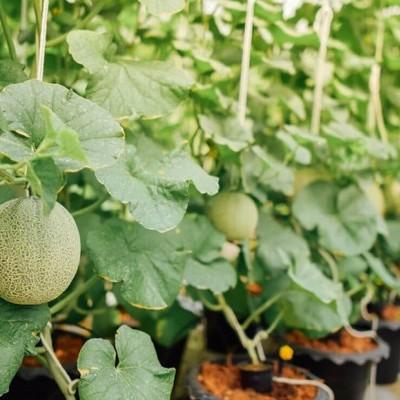 Consejos para cultivar melón, pepino y berenjena en hidroponía