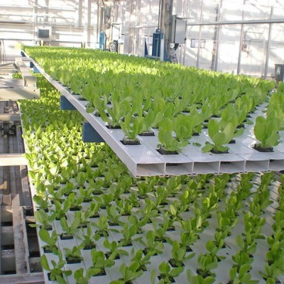 Fases de cultivo de lechuga en sistema de cultivo hidropónico - NFT