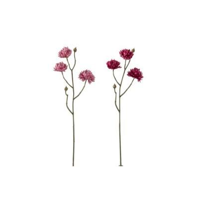 Chrysanthum