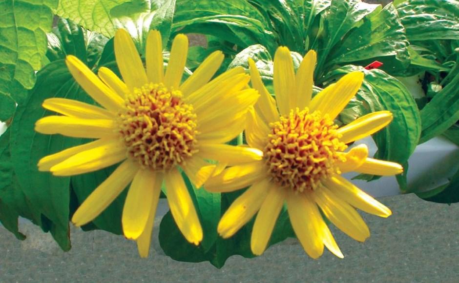 Cultivar plantas medicinais em Hidroponia