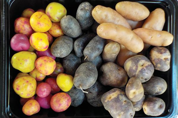 batatas hidroponia