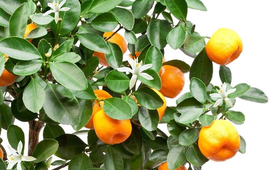 Árvores de fruto Hidropónicas