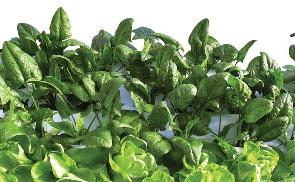 Dicas para cultivar espinafre, endívia e acelga usando hidroponia
