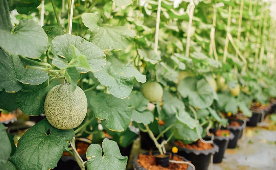 Dicas para cultivar melão, pepino e beringelas em Hidroponia