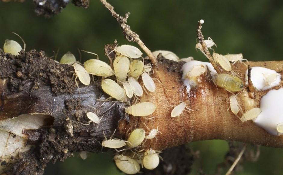 Saiba como expulsar os pulgões nas suas plantas