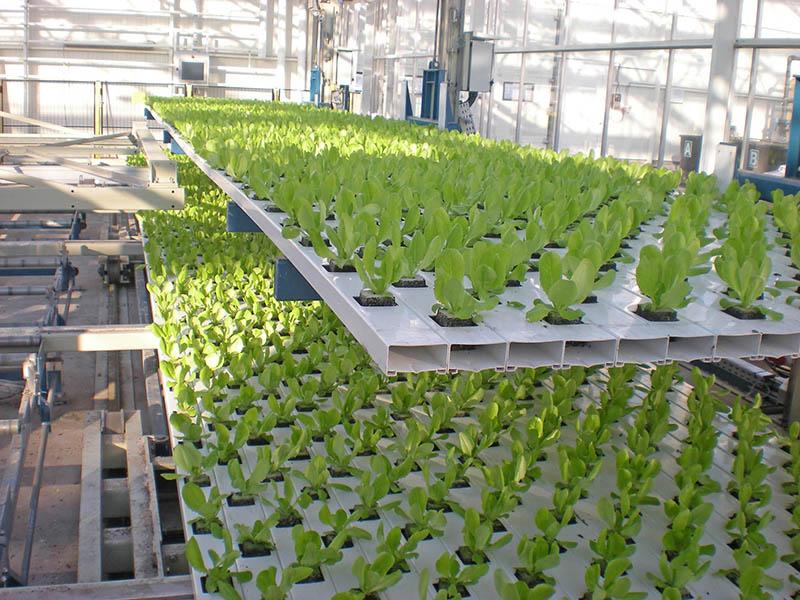 Fases de cultivo de alface em sistema de cultivo hidropónico - NFT
