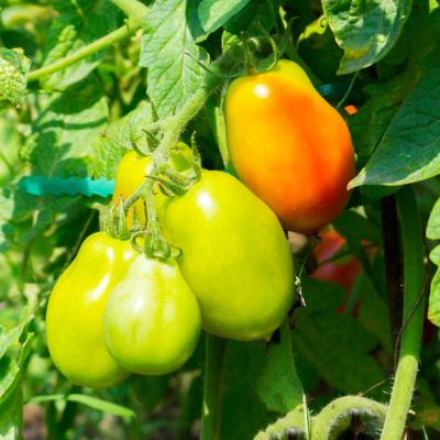 Nutrientes Frutos Fase Frutificação
