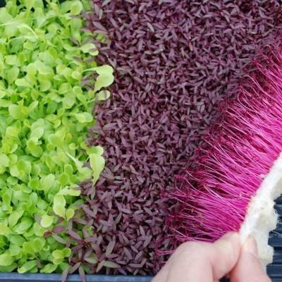 Como cultivar Germinados Hidropónicos em casa?