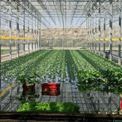 Cultivar pepinos hidropónicos