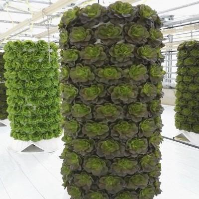 Hidroponia em projectos de agricultura urbana