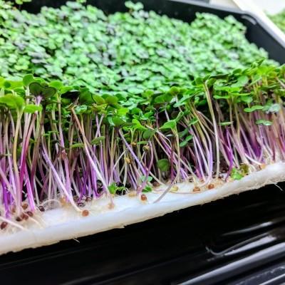 Uso da Hidroponia na produção de variedades tipo gourmet