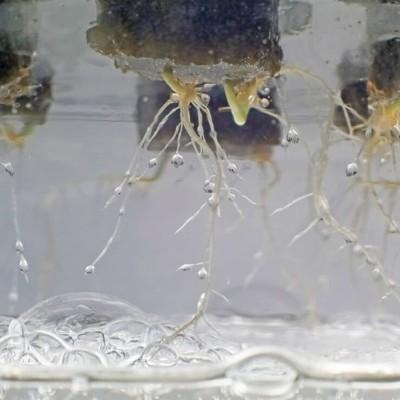 Mantenha-a limpa: desinfetar a água hidropónica