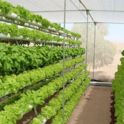 Conservação de hortaliças hidropónicas (folhosas)