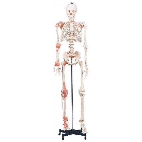 Esquelete Humano Com Ligamentos