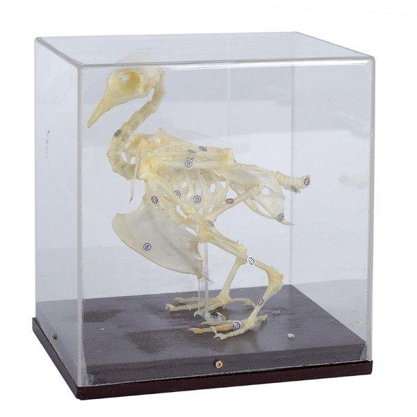 Esqueleto Animal Com Tampa Protetora - Pombo