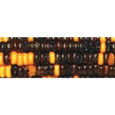 Grão Preto / Amarelo 1: 1 - Descendência