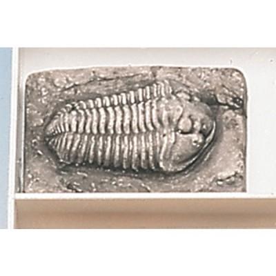Trilobite Inteira