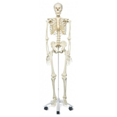 Esquelete Humano
