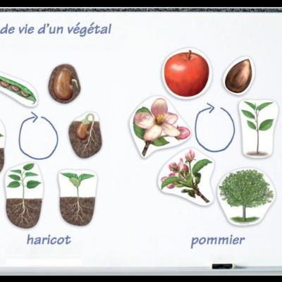 Ciclo de vida magnético - Maça e feijão