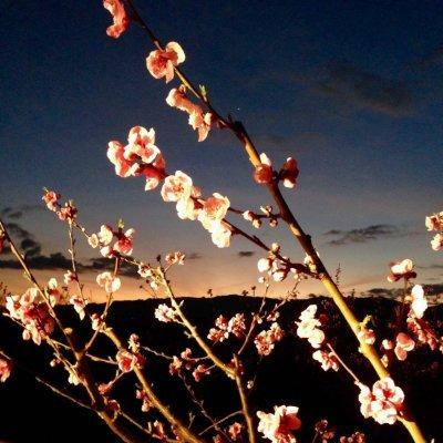 Sabão de Azeite - Artesanal: Flores de Pêssego (1 un.)