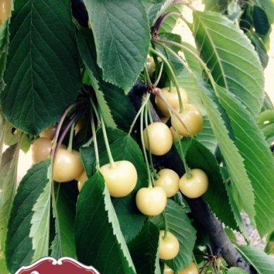 Caixa de Cerejas Brancas