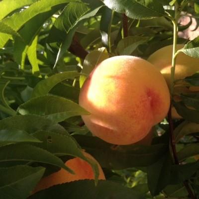 Caixa de Pêssegos Amarelos (10 Kg) - 24h