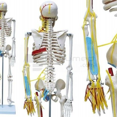 Esqueleto com nervos e vasos sanguíneos