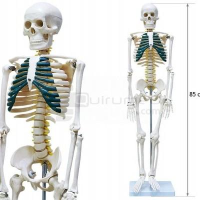 Esqueleto com nervos espinhais - 85cm