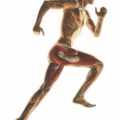 Running anatomy - Right lateral view